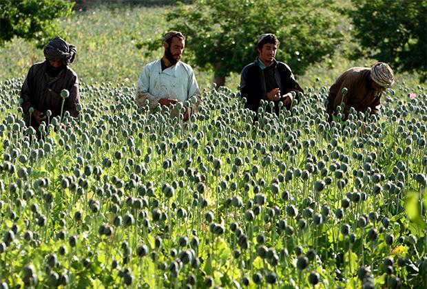 Афганцы собирают опиум