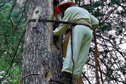 «Деревья передают по наследству» Как россияне сохраняют почти исчезнувший промысел — сбор меда диких пчел