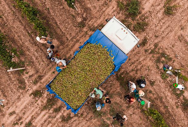 Сезонный сбор винограда