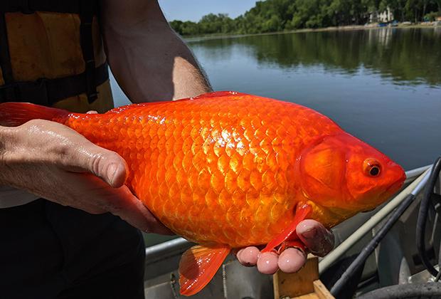 Золотая рыбка, выловленная в штате Миннесота. 2021 год