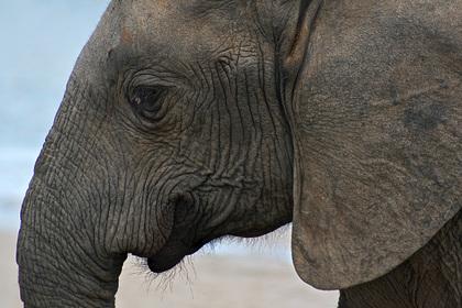 Ученый предложил создать трансгенных слонов вместо мамонтов для заселения Сибири