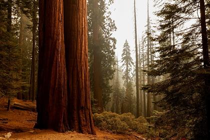Гигантские секвойи оказались по угрозой из-за лесных пожаров