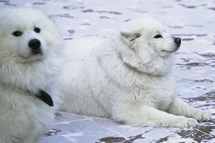 Раскрыта история происхождения сибирских собак