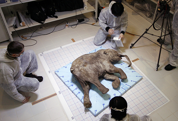 Тело замерзшего мамонтенка, жившего 37 тысяч лет назад. Япония