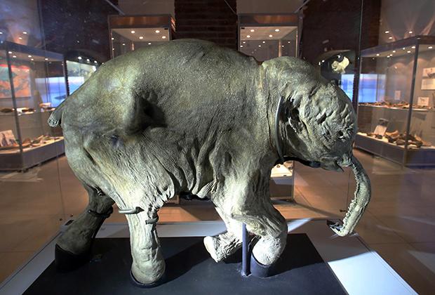 Мумия мамонтенка Любы, обнаруженная в 2007 году на Ямале