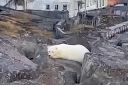 Вышедшего к людям в Арктике белого медведя сняли на видео