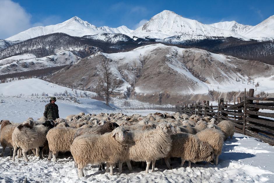 Отара овец на фоне Восточных Саян