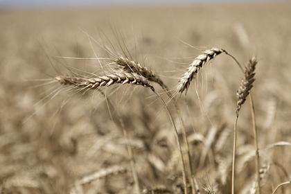 России предсказали потерю лидерства на мировом рынке пшеницы