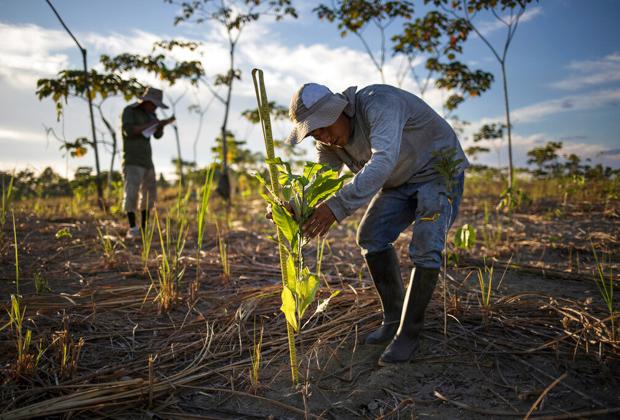 Высадка деревьев в Перу