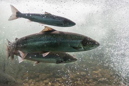 Норвегия придумала способ спасти исчезающий вид рыбы