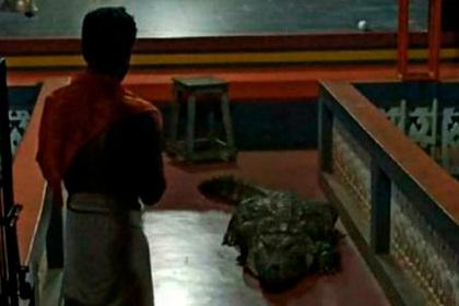 Крокодил поселился среди монахов и стал вегетарианцем